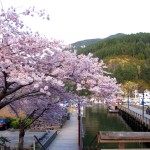 Cherry blossoms in Horseshoe Bay British Columbia , Canada